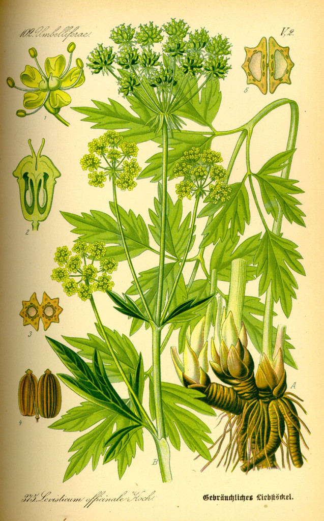Illustration_Levisticum_officinale0